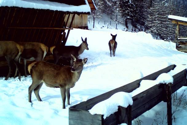 Wildtierfütterung im Biosphärenpark Nockberge, Rotwild
