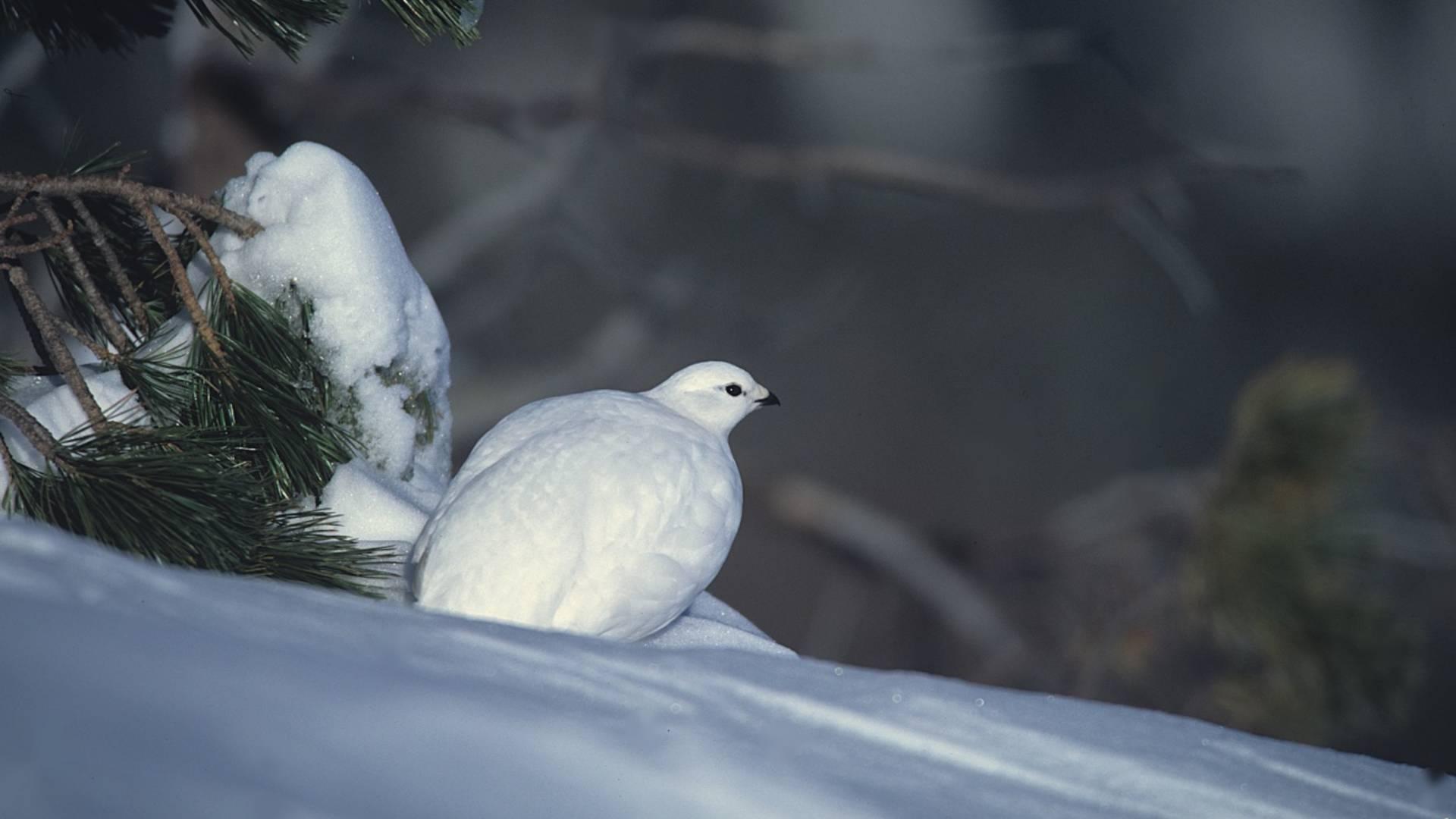 Schneehuhn im Biosphärenpark Nockberge