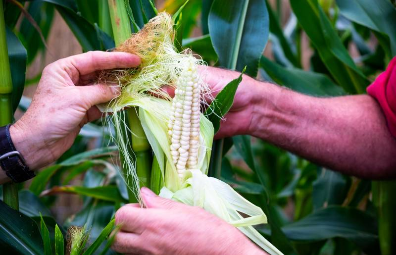 Der besondere weiße Mais