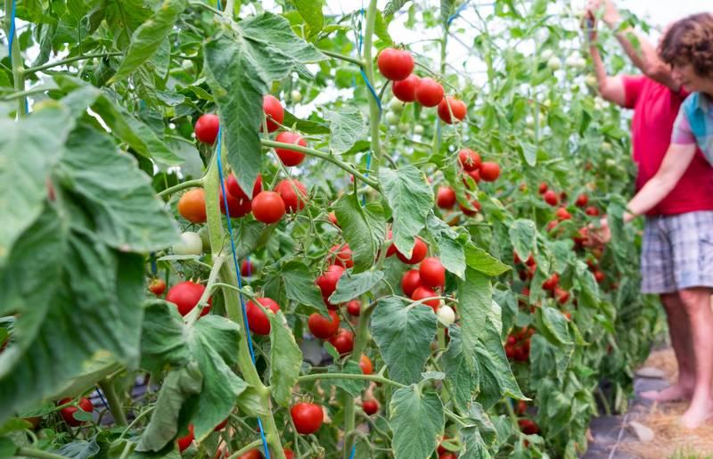 Bio-Tomaten: Qualität die man schmeckt